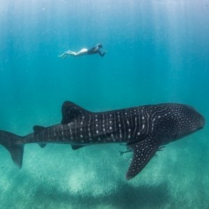 swimming with whale shark