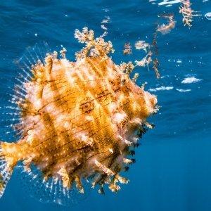 Porcupinefish Underwater