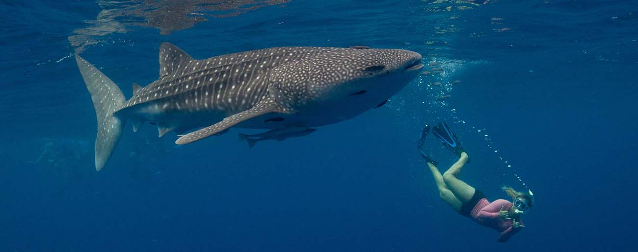 Fact-whale-sharks