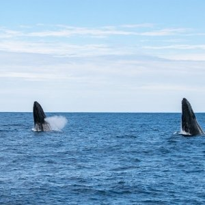 Sunset Humpback Whale Watching