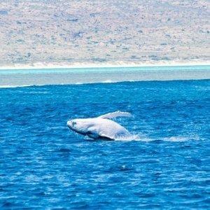 humpback-whale-shark-ningaloo
