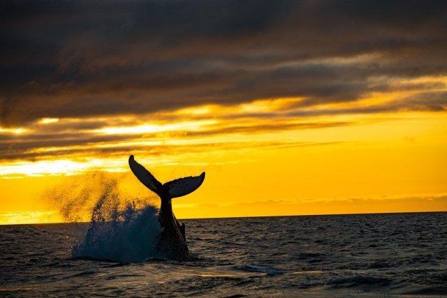 sunset-humpback-whale-watching